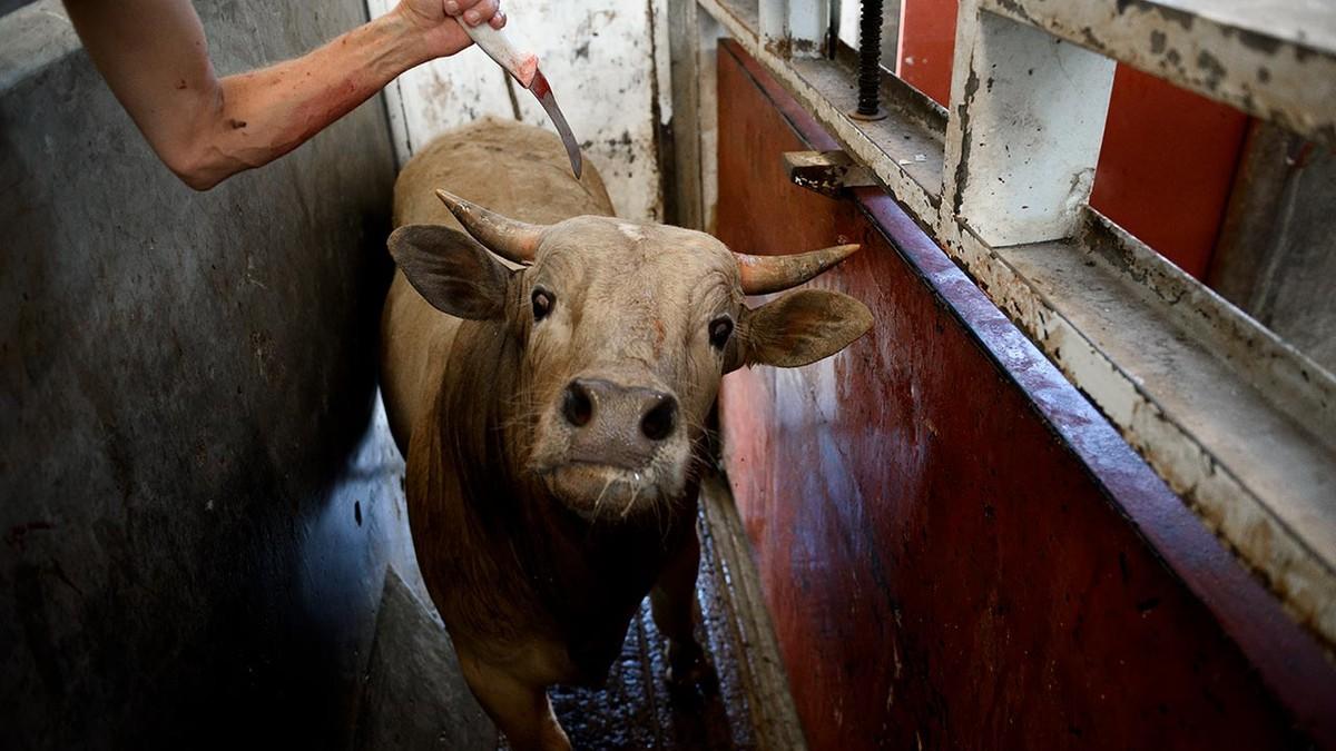 Matadero Vaca Cuchillo Mexico Crop Center Resize Animales Granja