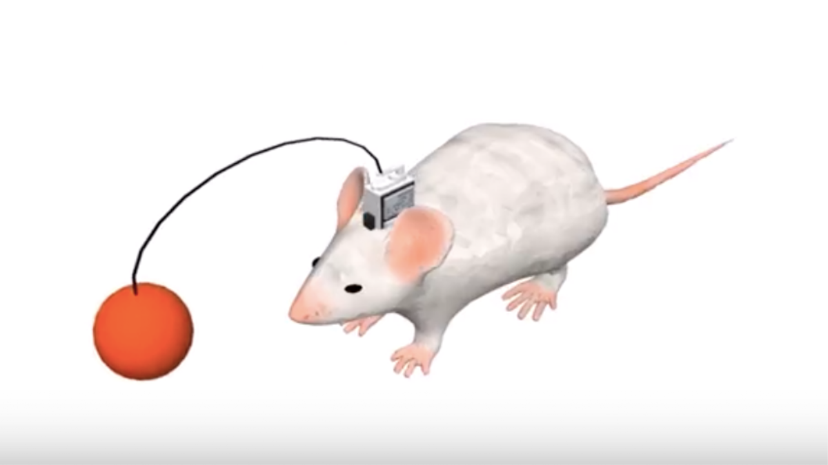 Watch a Human Mind-Control a Cyborg Mouse