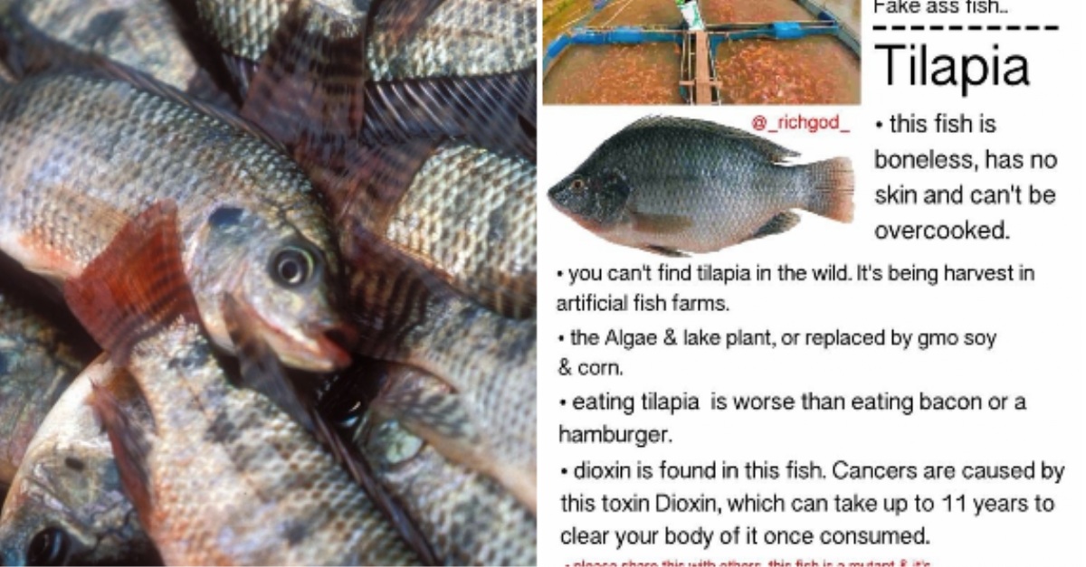 No tilapia is not a mutant boneless toxic fish despite for Tilapia not real fish