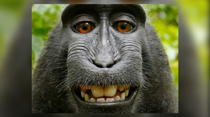 Even That Monkey Selfie Fiasco Is Getting Turned into a Movie