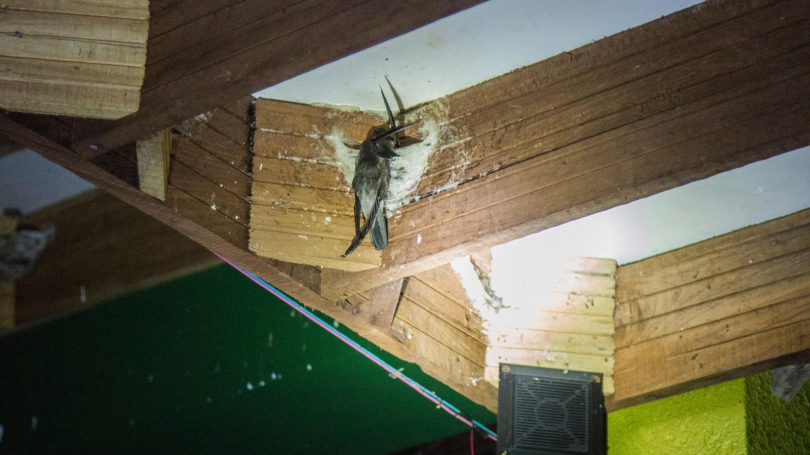 Le nid d'oiseau comestible : un business crado qui peut rapporter gros