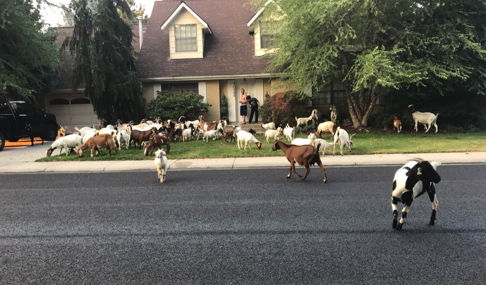 Let These Rebel Goats on the Loose Cleanse Your Social Media-Addled Brain