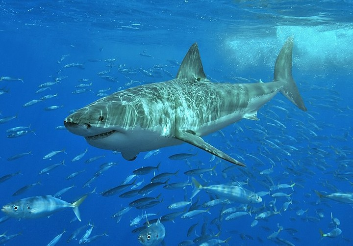 We Now Know Why Great White Sharks Gather In a Mysterious Ocean Void