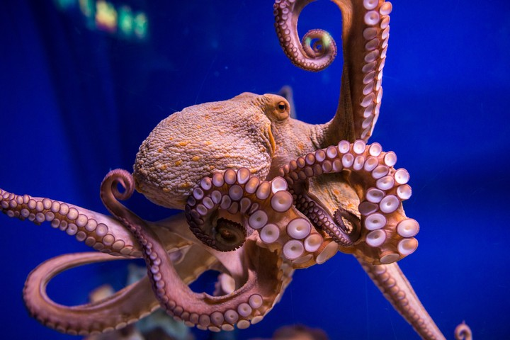 Researchers Gave Octopuses MDMA in the Name of Science