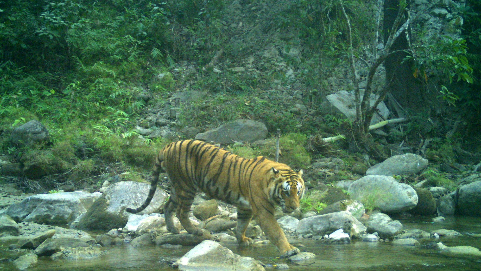 The Tiger Population in Nepal Has Nearly Doubled Since 2009