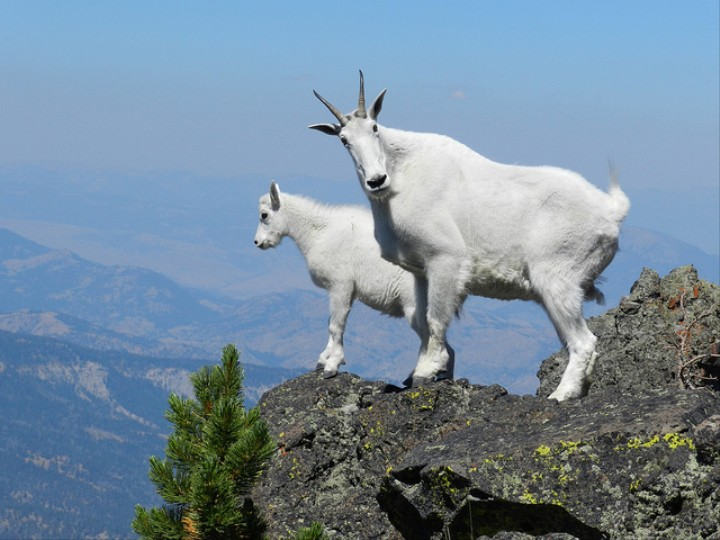 A National Park Is Airlifting Hundreds of Mountain Goats That Have Gone Crazy for Human Pee
