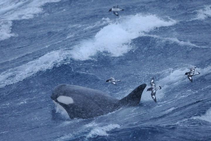 Researchers Had 'No Idea' Killer Whales Could Dive This Deep