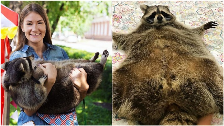 This Adorable Fat Russian Raccoon Has the Best Account on Instagram