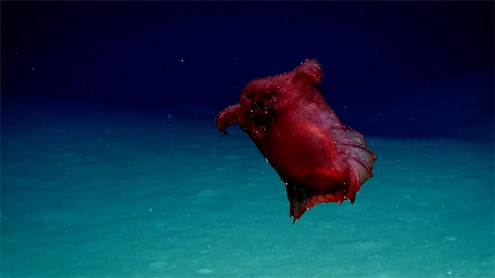 Watch This 'Headless Chicken Monster' Crawl the Deep Southern Ocean