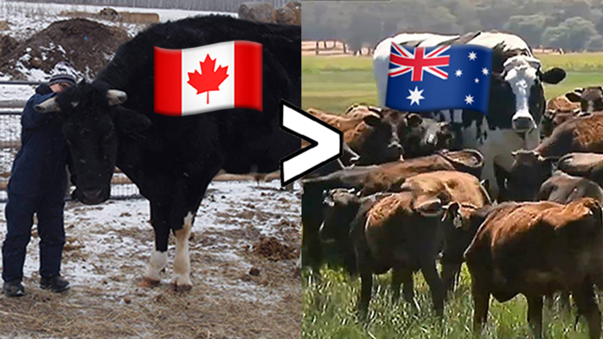 Sorry Australia Our Steers Are Bigger Vice