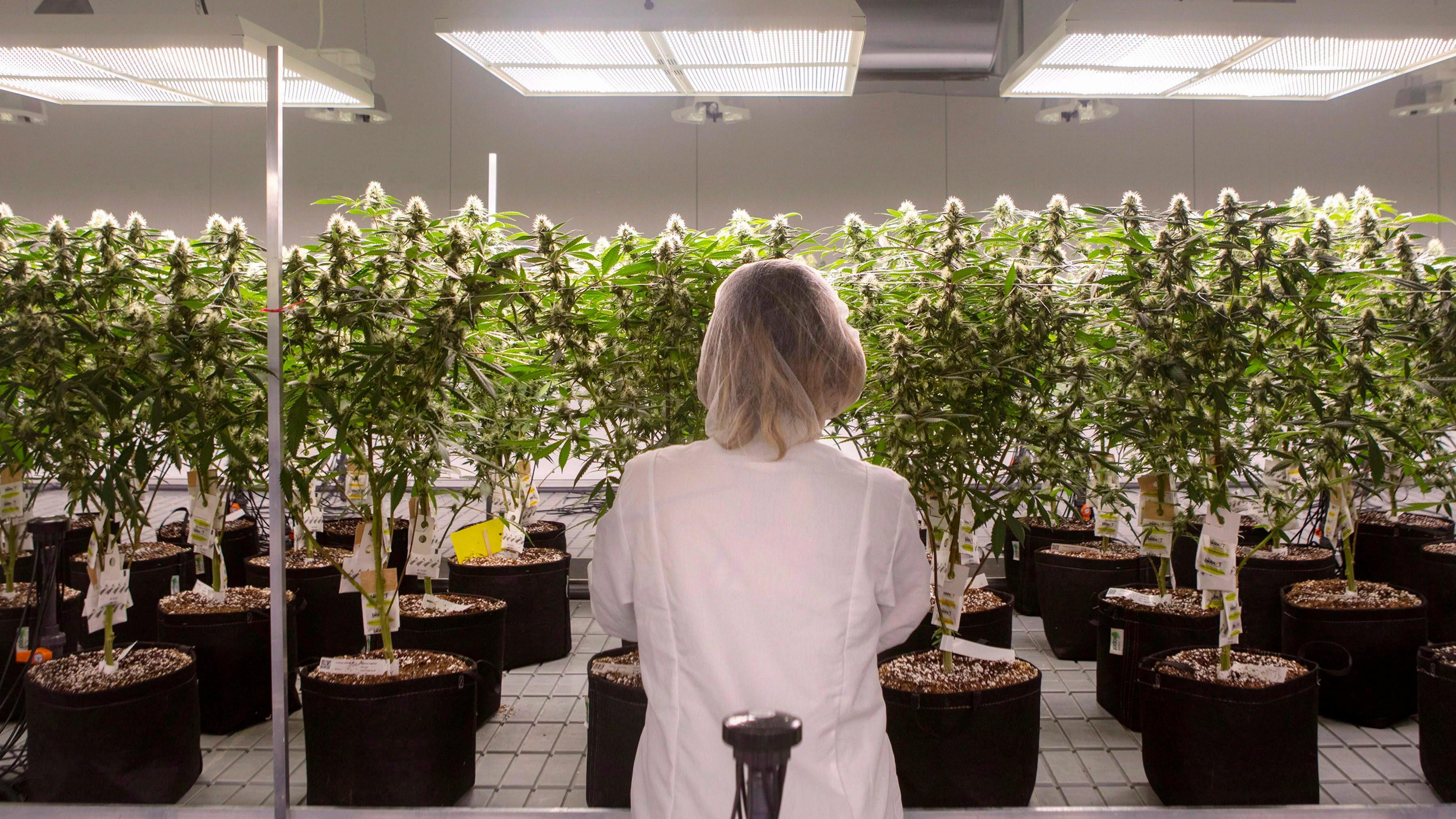 Algunos productores con licencia están vendiendo aceites de malezas que son placebos: investigadores