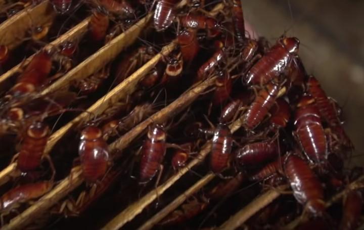 A China está criando um exército de baratas para comer restos de comida