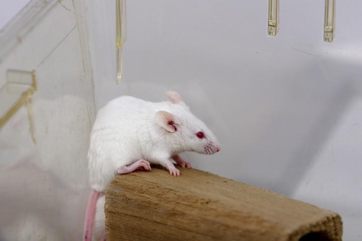 L'étrange histoire de la souris de laboratoire née pour mourir - VICE