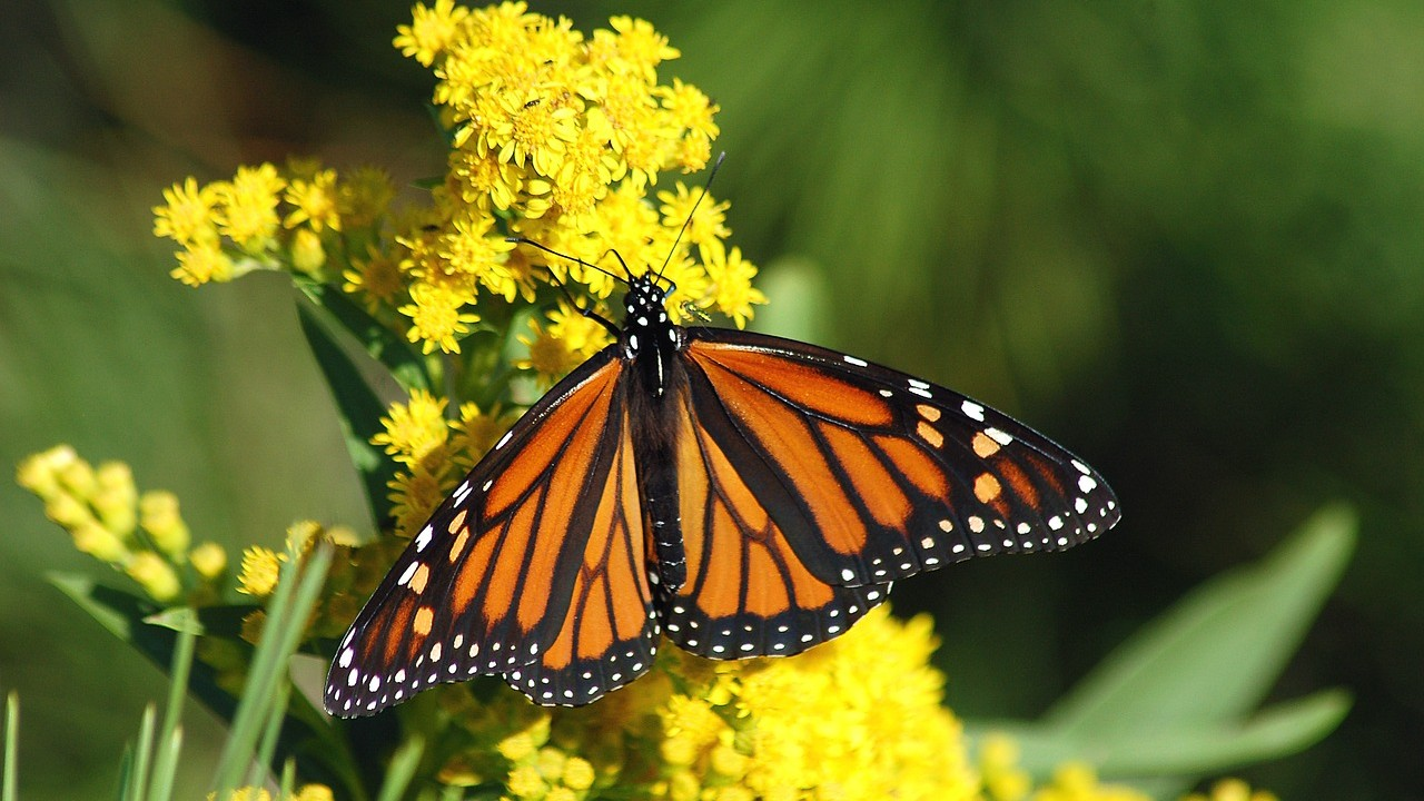 California U2019s Monarch Butterflies Hit  U2018potentially Catastrophic U2019 Record Low