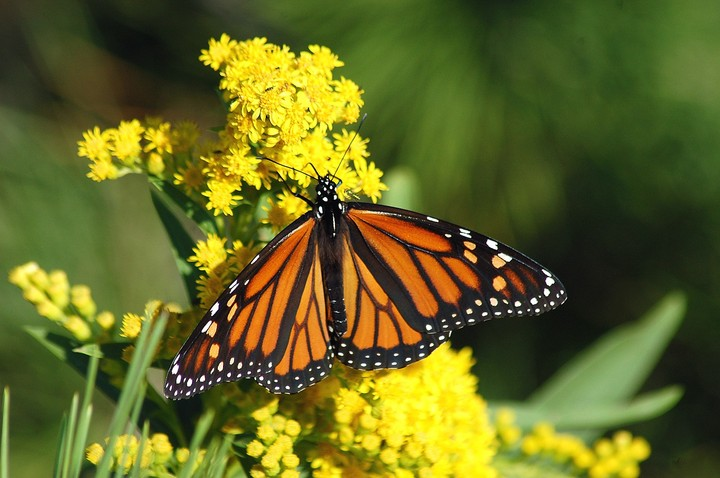 California's Monarch Butterflies Hit 'Potentially Catastrophic' Record Low