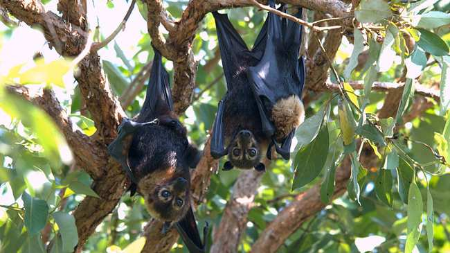 Climate Change Driven Heat Wave Killed A Third Of Bat Potion In Two Days