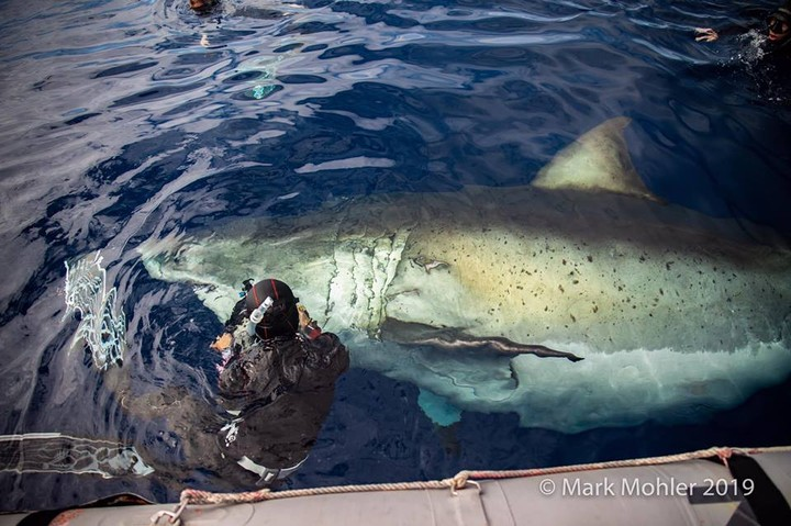 Famously Huge Great White Shark, 'Deep Blue,' Feasts on Dead Sperm Whale in Hawaii