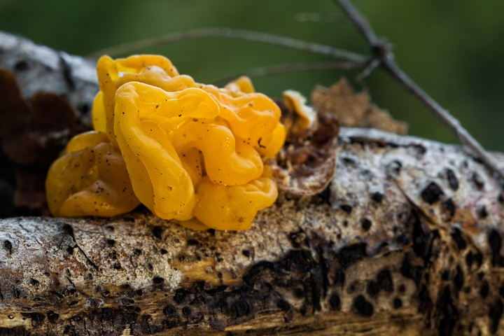 I Want to Eat This Tree Fungus That Looks Like Mac and Cheese