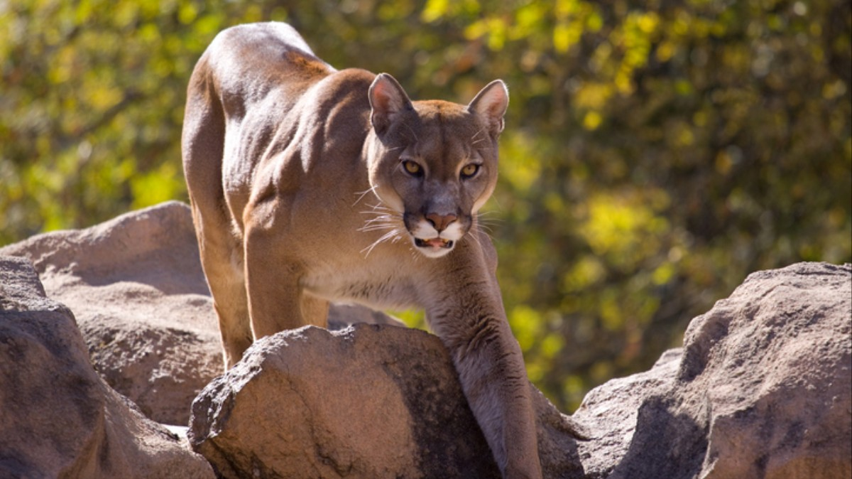 This Guy Got Attacked by a Mountain Lion and Killed It