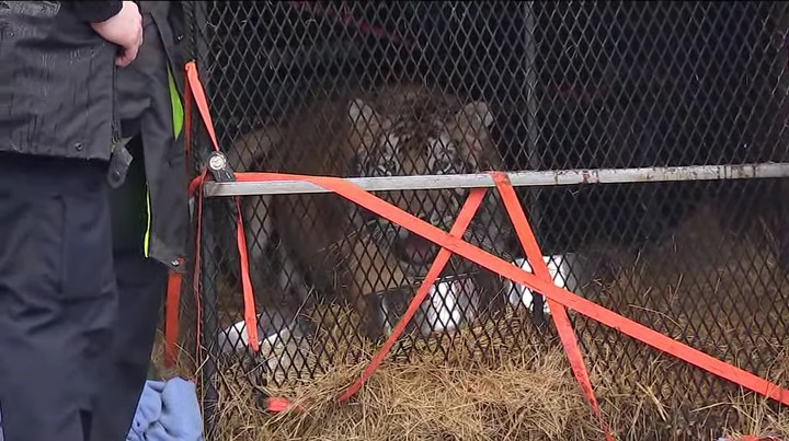 This Stoner Broke into a Vacant House to Get High and Ran into a Giant Tiger