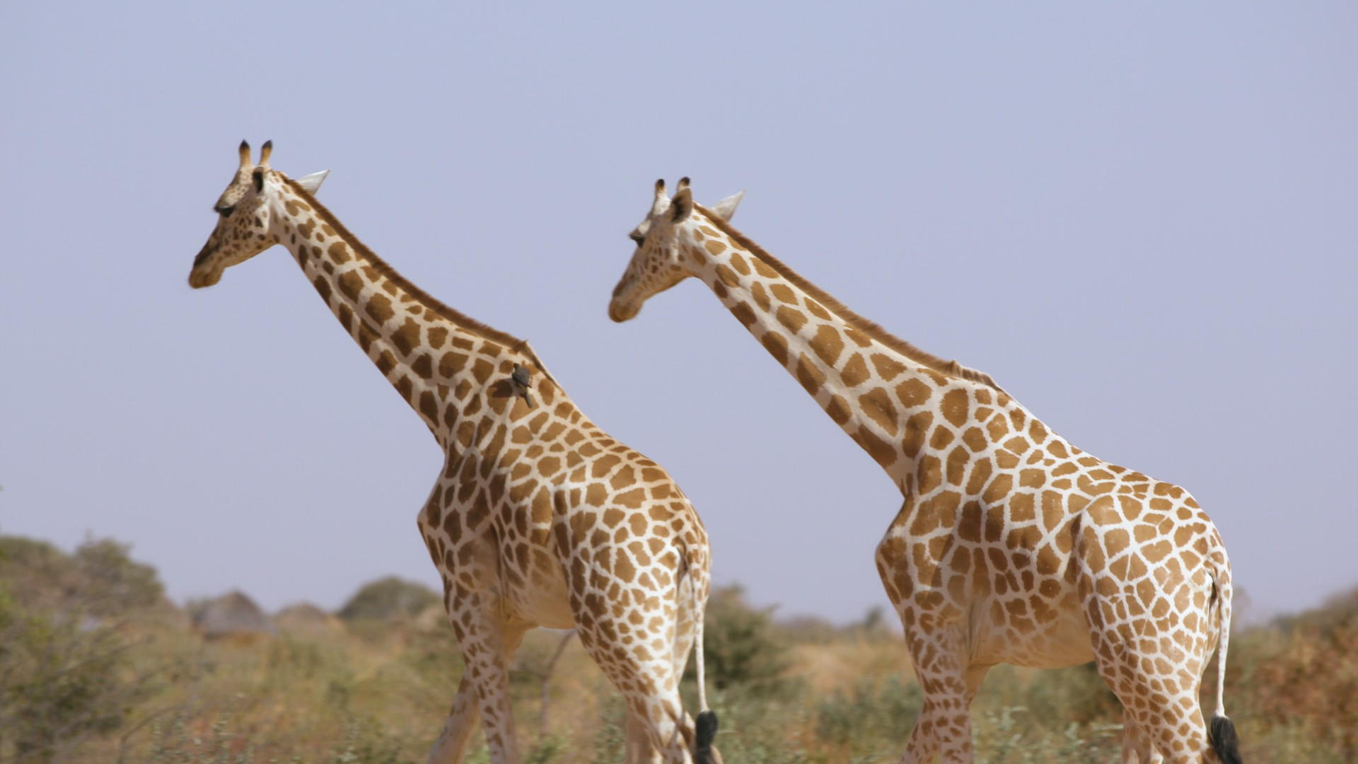 How Niger is giving a second chance to Africa's most threatened giraffe subspecies