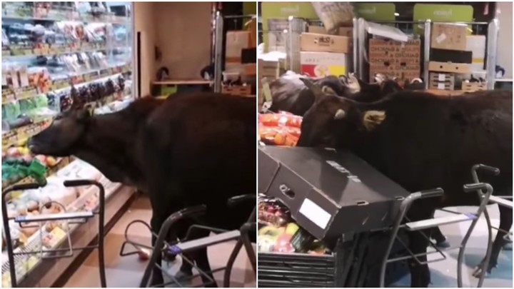 Watch This Gang of Cows Break into a Grocery Store and Eat All the Vegetables
