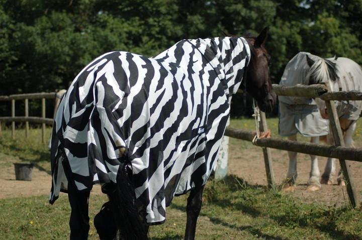 Tuto : déguiser un cheval en zèbre pour comprendre à quoi servent leurs rayures