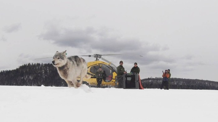 Elite Canadian Wolves Airdropped Into Michigan to Kill Moose and Have Babies