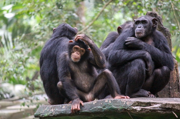 Chimpanzee Culture Is Disappearing Thanks to Climate Change, Study Finds