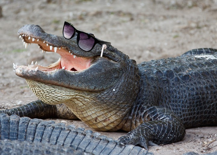 Scientists Gave Alligators Ketamine and Headphones to Understand Dinosaur Hearing