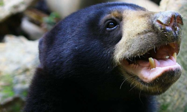 These Bears Can Mimic Faces Like Humans and Apes