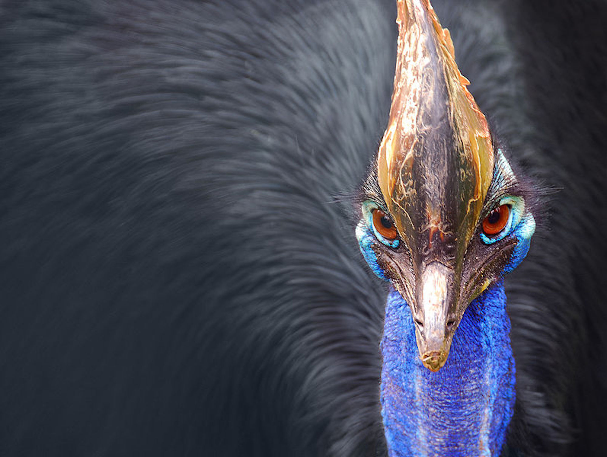 Kasuari Si Burung Paling Berbahaya Sedunia Kembali Menewaskan Manusia