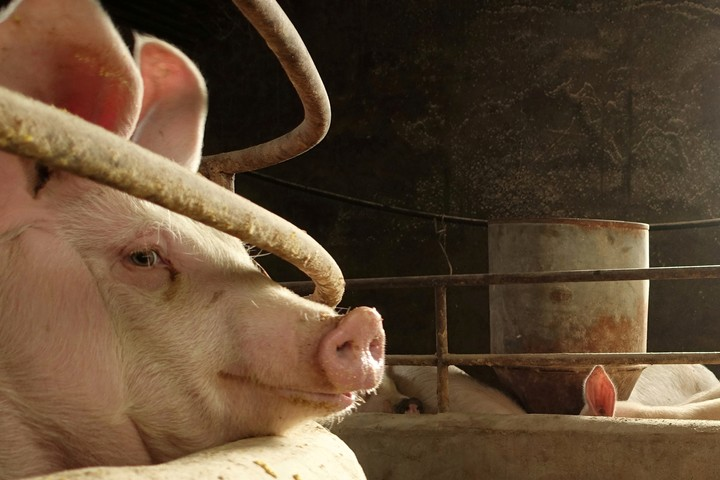 There's a Worldwide Pork Shortage Due to Widespread Swine Fever in China