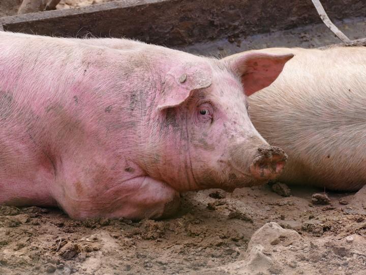 Scientists Partly Revive Dead Pigs' Brains