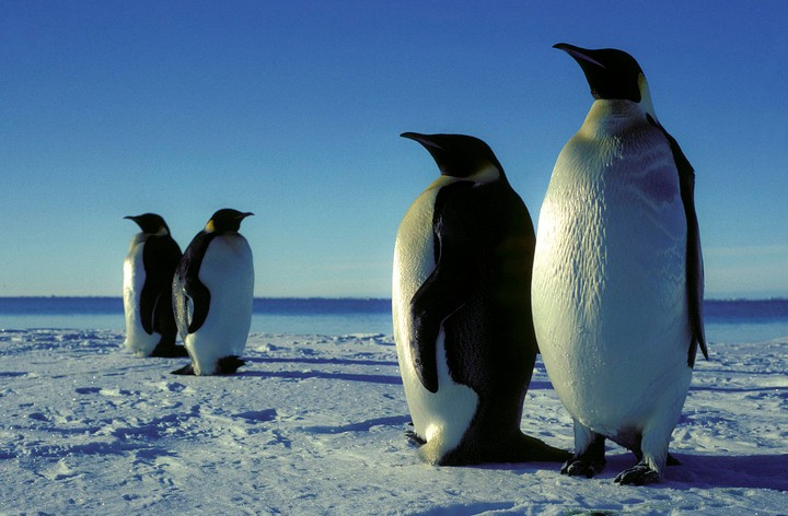 Unstable Ice Causes 'Catastrophic Breeding Failure' for Penguins