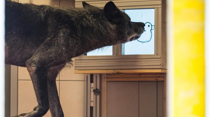 Des chercheurs ont comparé la générosité des chiens et des loups avec des écrans tactiles