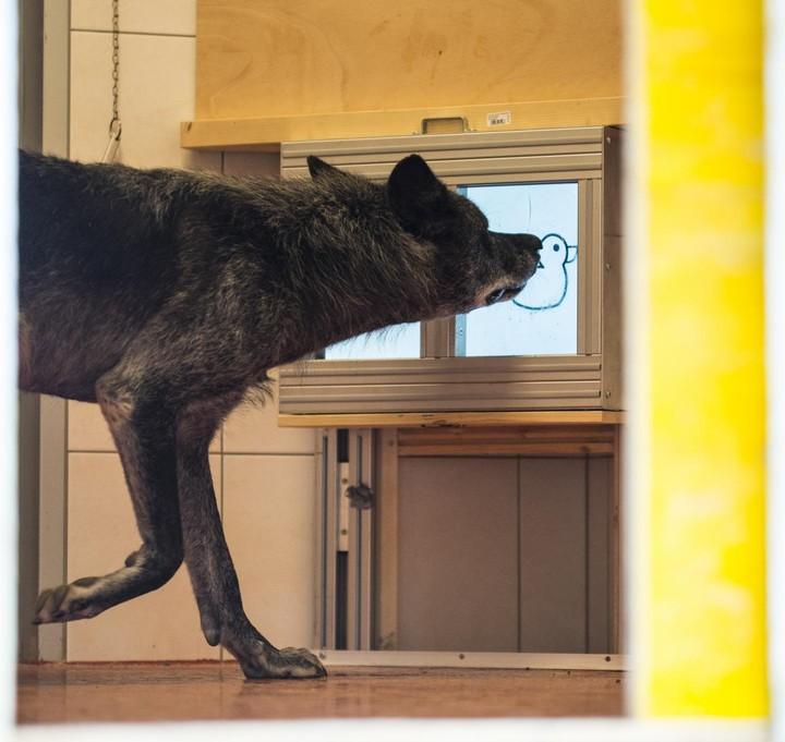 Des chercheurs ont comparé la générosité des chiens et des loups avec des écrans tactiles - VICE