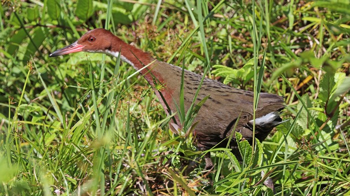 This Bird Went Extinct and Then Evolved Into Existence Again
