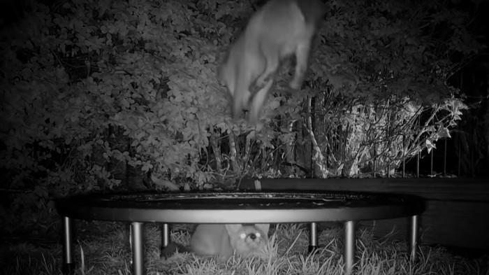 Fuchswelpen auf dem Trampolin: Das Schnuckeligste, was du heute sehen wirst