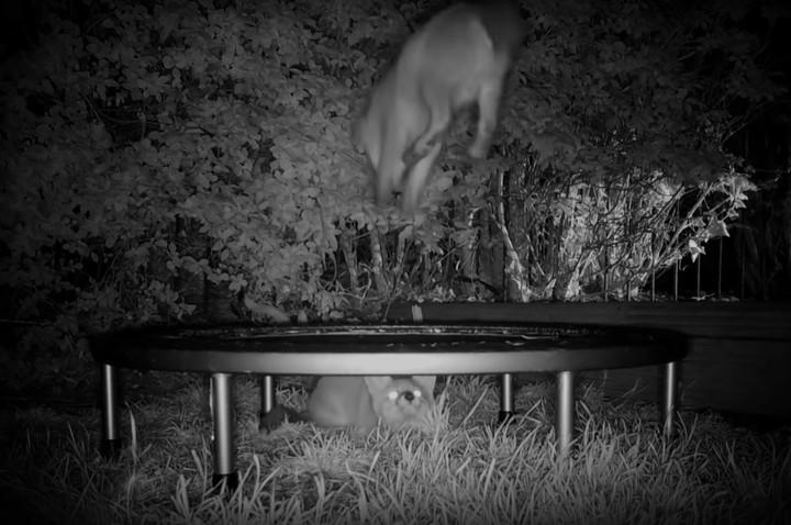 Video: Diese Fuchswelpen auf dem Trampolin sind das Schnuckeligste, was du heute sehen wirst - VICE
