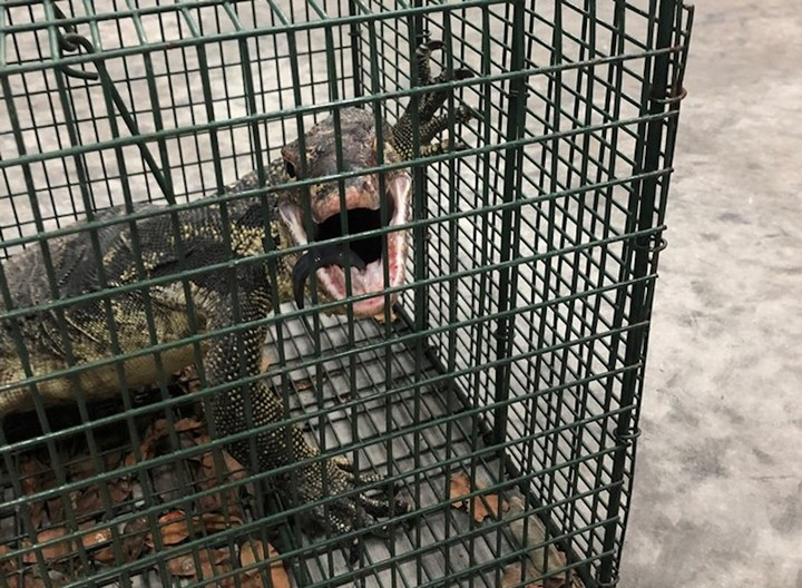 Florida Captures, Kills Giant Lizard That Terrorized Local Community for a Year - VICE
