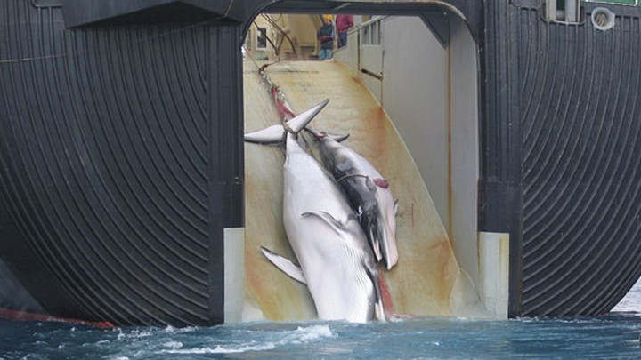 Japan is Bringing Back Commercial Whaling Next Month