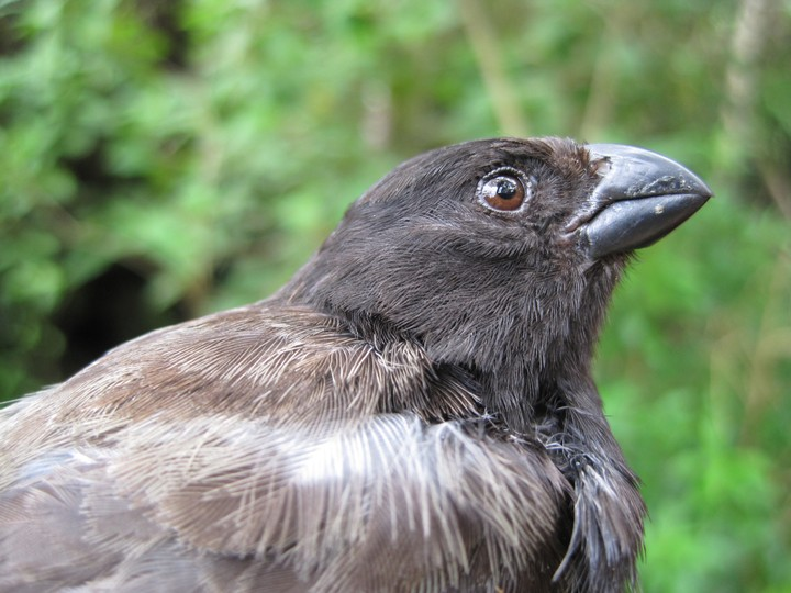 Darwin's Finches Are In Danger Because a Parasite Is Changing Their Mating Song - VICE