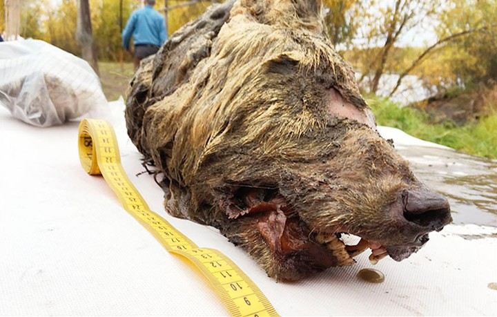 This 40,000-Year-Old Wolf Head Was Found in Siberian Permafrost - VICE