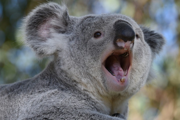 These Are The Last Koalas Without Chlamydia