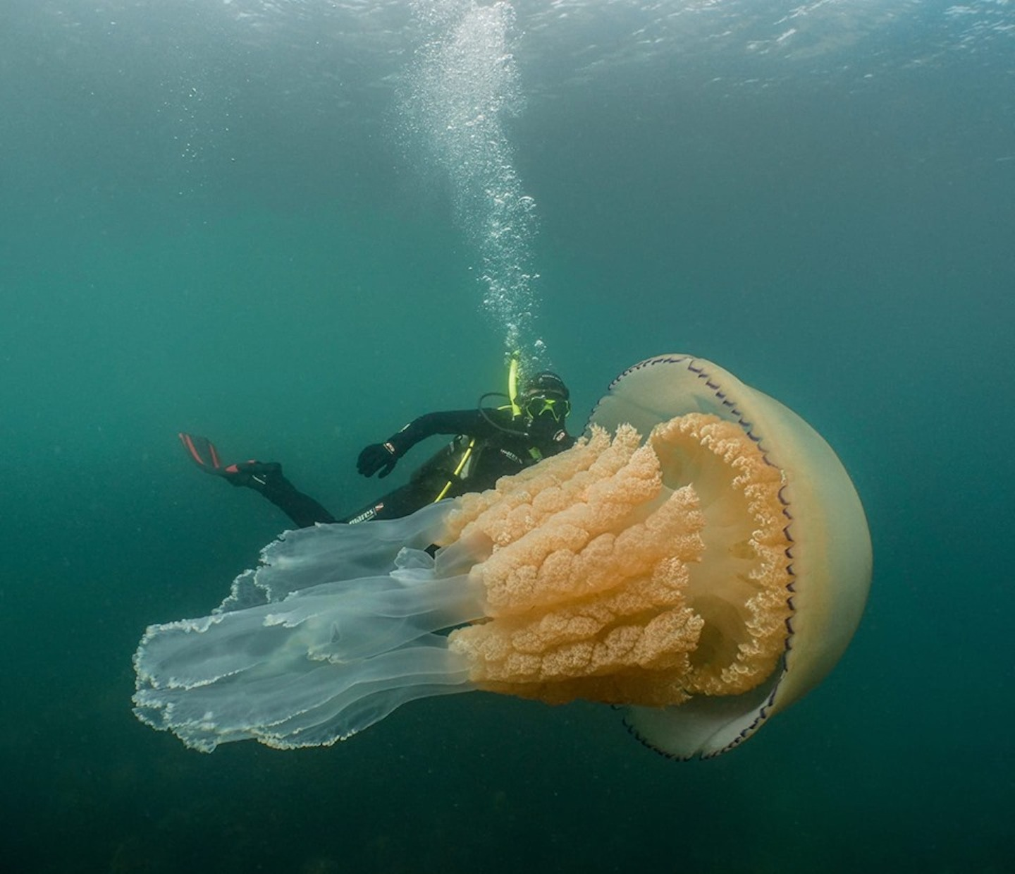 Rare Human-Sized Giant Jellyfish Caught On Camera - VICE