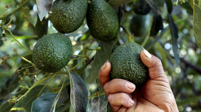 Brutal Murder of 19 People in Mexico Could Be Related to Avocado Trade, Expert Says
