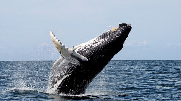 Humpback Whales Learn New Songs as They Travel