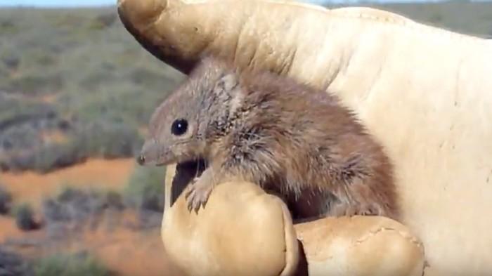 Meet the Australian Marsupial That Literally Shags Itself to Death