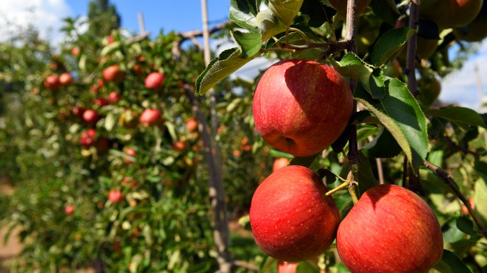 Thief Stole 50,000 Apples by Just Shaking the Trees Really Hard, Orchard Owner Says